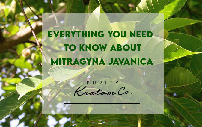 Everything You Need To Know About Mitragyna Javanica