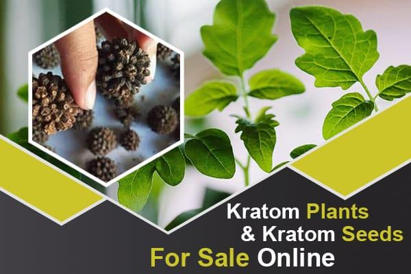 Kratom Plants And Kratom Seeds For Sale Online